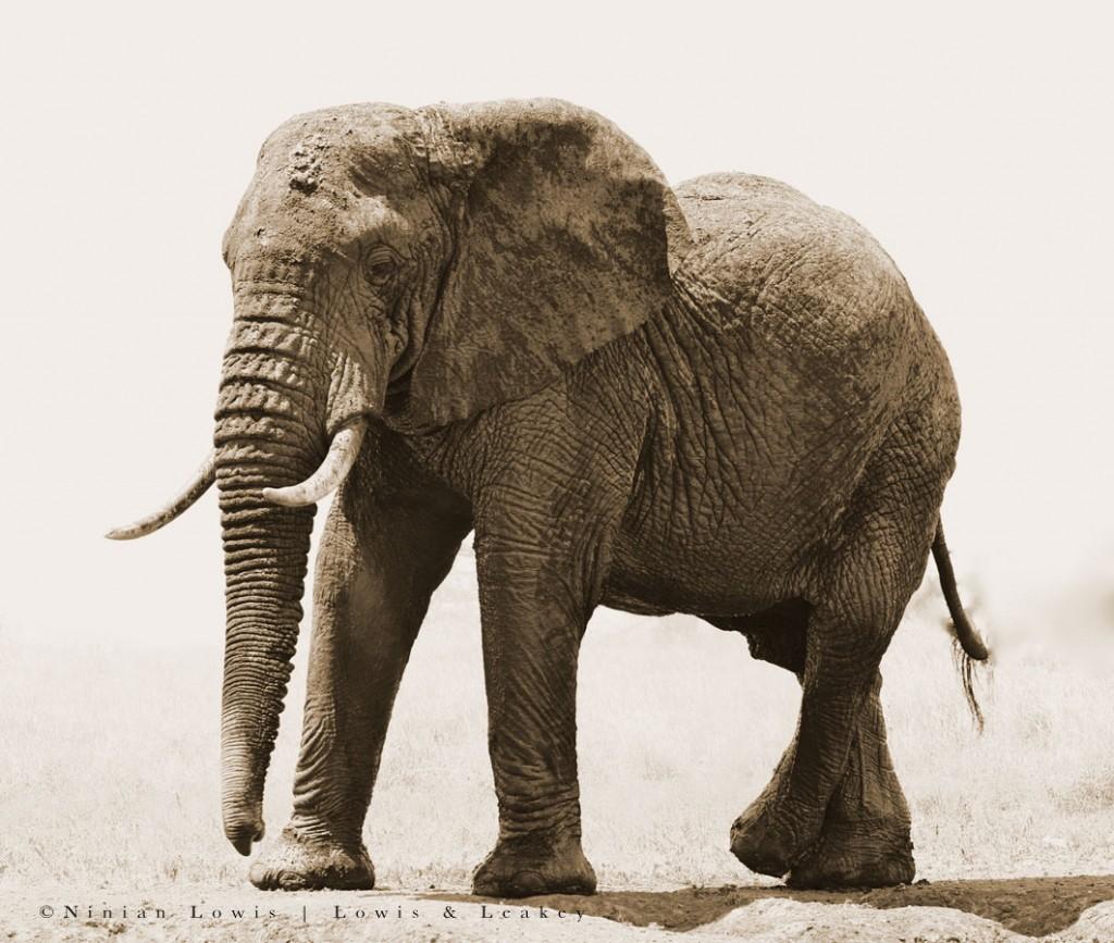 Elephant 1 ©Ninian Lowis